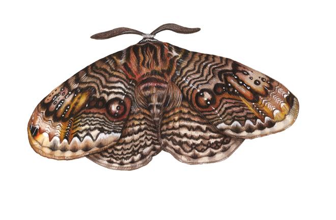 owly moth 660px