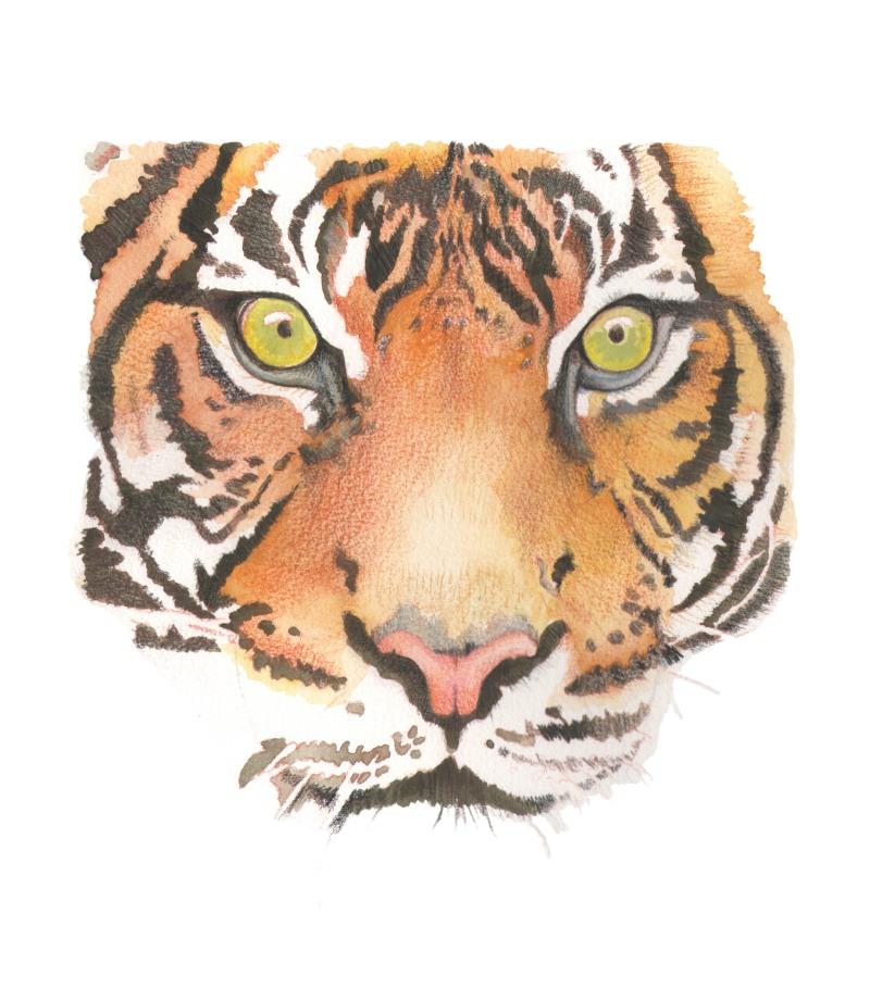 tiger face 2 big sc final