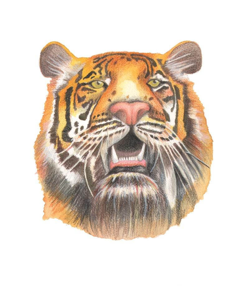 tiger face 3 big scan copy