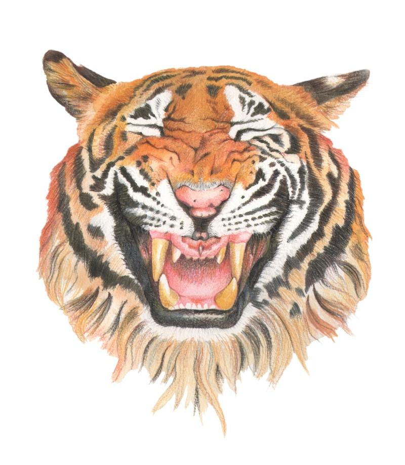 tiger face big scan copy